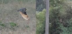 Hibou Moyen Duc à Perwez